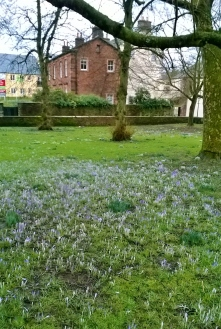 Crocuses in Penrith, Cumbria