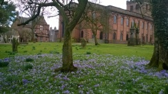 Crocuses in Penrith