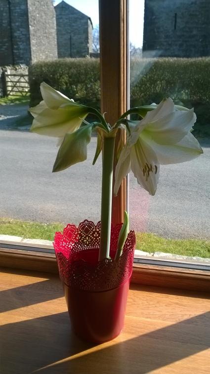 Amaryllis flowering in the kitchen