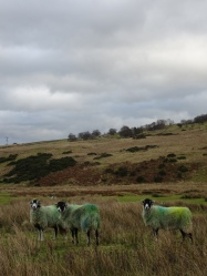 Sheep in Cumbria