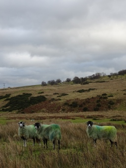Sheep in Cumbria