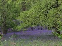 Bluebells in Cumbria