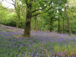 Bluebells in Cumbria