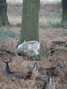 deer in Richmond Park