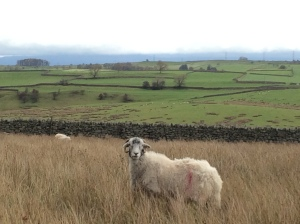 sheep on the fell