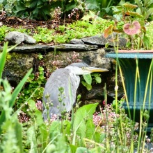 A heron surrounded by garden plants