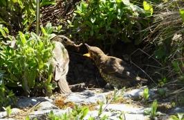 A bird feeding a worm to an open-beaked fledgeling