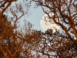 Full moon seen through branches