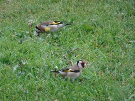Two goldfinches in the grass