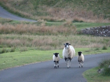 Ewe and two lambs walking towards the camera along a road