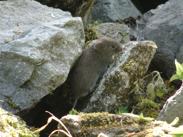 A vole on a pile of stones
