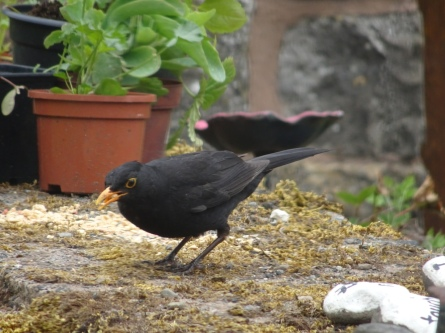 Blackbird pecking crumbs on a garden wall