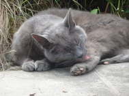 grey cat licking its paw