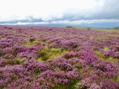 Purple heather stretching away across the fell