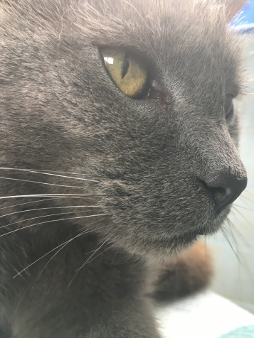 Close-up of a grey cat's face