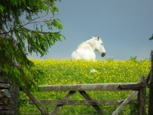White horse sitting in a field behind a five bar gate
