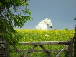 White horse sitting in a field behind a five bar gate
