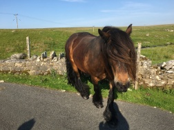 Fell pony approaching the camera