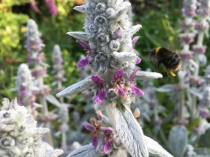 Close up of a bee approaching a lamb's lug flower