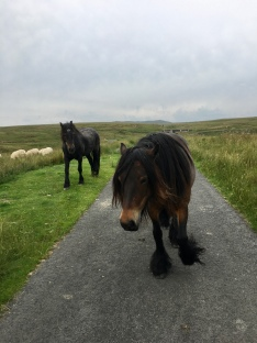 Two fell ponies on a road, with the open fell behind