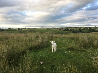 tiny lamb on a wide open fell