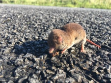 A small brown mole on the tarmac, close up