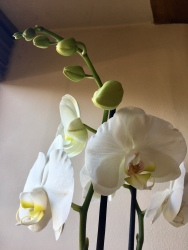 White orchid flowers and buds