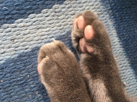 Close-up of two grey cat paws on a blue rug
