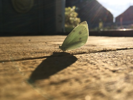 White moth on a wooden shed floor, its long shadow stretching away in front of it