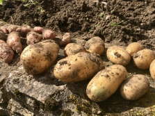 Close-up of potatoes still covered in earth